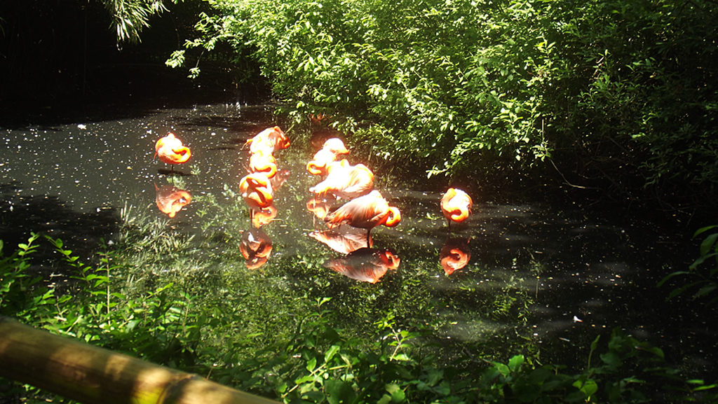 Oasi di Sant'Alessio American Flamingo