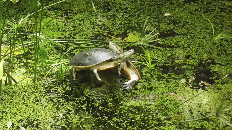 Oasi di Sant'Alessio Turtles