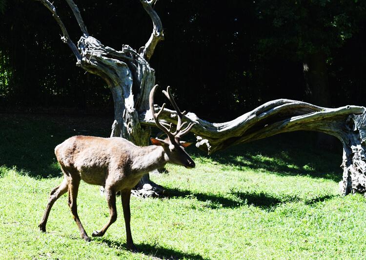 Zoo in Italy: Altai Wapiti