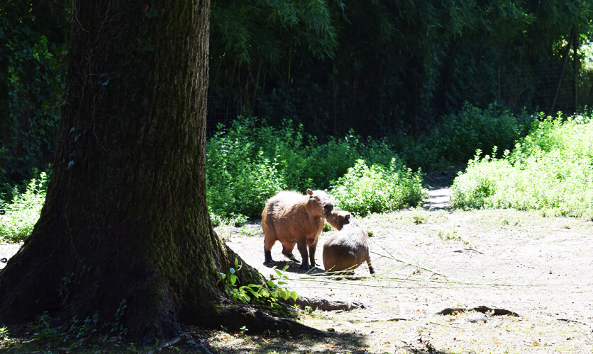 Zoo in Italy: Capybara