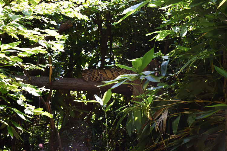 Zoo in Italy: Clouded Leopard