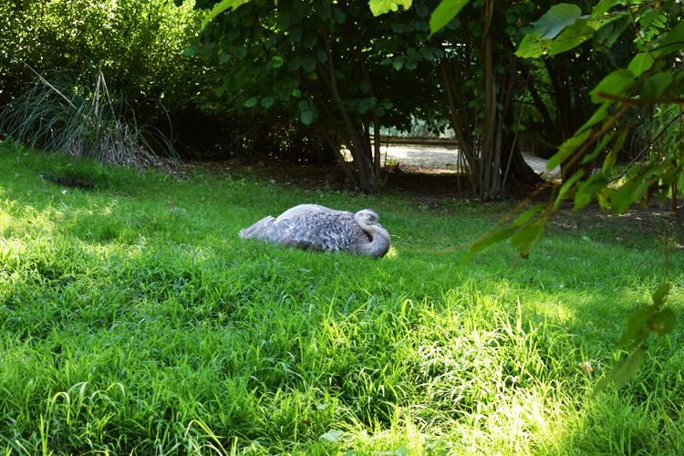 Zoo in Italy: Darwin's Rhea
