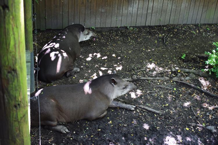 Zoo in Italy: Tapir